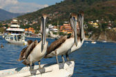 Pelican trio — Stock Photo