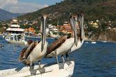 Pelikan trio — Zdjęcie stockowe