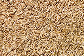 Background of oats — Stock Photo