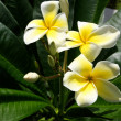 Yellow Plumeria Flowers - Foto Stock
