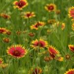 Texas Wildflowers — Stock Photo #6923675