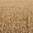Field of Wheat Grain — Stock Photo