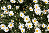 Patch of White Daisies — Stock Photo