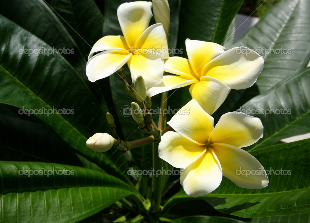 Plumeria flowers in bloom — Stock Photo #6923558