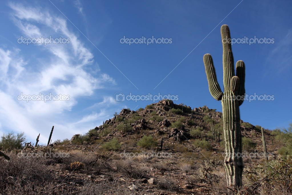 Saguaro Cactus in the Arizona Desert — Stock Photo #6923737