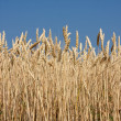 Close up of Wheat Crop — Foto de Stock