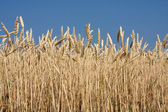 Close up of Wheat Crop — Stock Photo