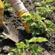 Stock Photo: Strawberry Planting