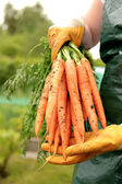 Fresh carrots from vegetable patch — Stock Photo
