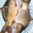 Freshly carp on ice — Stock Photo