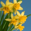 Yellow daffodils on blue background — Stock Photo #6863213