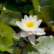 Stock Photo: White waterlilies blooming in pond
