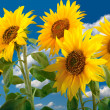 Sunflowers — Stock Photo #6863353