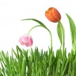 Three tulips in grass — Stock Photo
