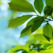 Fresh and green leaves - Foto Stock