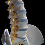 Постер, плакат: Human spinal column