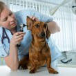 Veterinarian doctor — Foto Stock