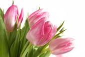 Fresh Pink Tulips — Stock Photo