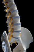 Human spinal column — Stock Photo