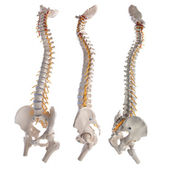 Learning model of the human spinal columns — Stock Photo