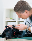 Veterinarian doctor — Stock Photo
