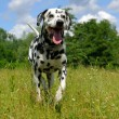 A running Dalmatian - Stock Photo