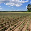 Green rows on field - Stock Photo
