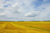 Yellow field under blue sky — Stock Photo