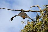 Bat uppvaknande — Stockfoto
