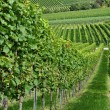 Hilly vineyard #5, baden - Stock Photo