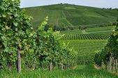 Hilly vineyard #3, baden — Stock Photo