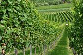 Hilly vineyard #5, baden — Stock Photo