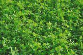 Cloverleaf in field #1, emilia — Stock Photo