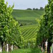 Hilly vineyard #9, baden - Stock Photo