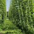 Hops plantation #3, baden - Stock Photo