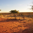 Sunset on red dunes, kalahari - Stock Photo