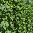 Stock Photo: Hops leaves in plantation #1, baden