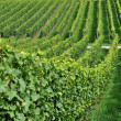Hilly vineyard #7, baden — Stock Photo