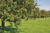 Fruit trees in field #2, baden — Stock Photo