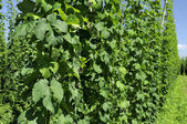 Hops leaves in plantation #1, baden — Stock Photo