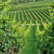 Hilly vineyard #2, baden — Stock Photo