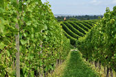 Hilly vineyard #8, baden — Stock Photo