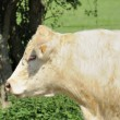 Blonde cow, ardennes — Stock Photo