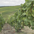 Stock Photo: Champagne hilly vineyard #8, epernay