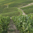 Stock Photo: Champagne hilly vineyard #3, epernay