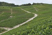 Champagne hilly vineyard #6, epernay — Stock Photo