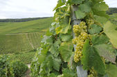 Champagne grapes #1, epernay — Stock Photo