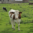 Piebald cow and farm, willerzie, ardennes — Stock Photo