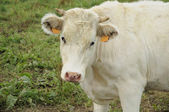 White calf, ardennes — Stock Photo