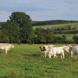 Cow herd pastures, ardennes — Stock Photo #7190364